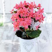 Begonia 'Picotee Frills' - Gift - 1 x Begonia 'Picotee Frills'