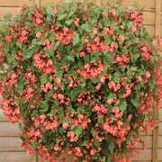 Begonia 'Pink Showers' - 1 packet (20 begonia seeds)