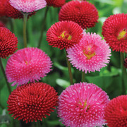 Bellis perennis 'Pomponette Mixed' - 1 packet (400 seeds)