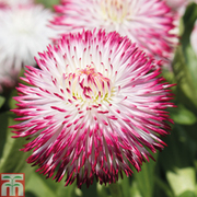 Bellis 'Pomponette Bicolour' (Garden Ready) - 30 bellis garden ready plants