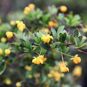 Berberis buxifolia 'Nana' (Large Plant) - 1 x 3.5 litre potted berberis plant
