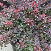 Berberis thunbergii f. atropurpurea 'Atropurpurea Nana' (Large Plant) - 2 x 7.5 litre potted berberis plants
