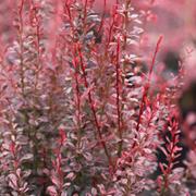 Berberis thunbergii f. atropurpurea 'Rosy Rocket' (Large Plant) - 1 x 3.6 litre potted berberis plant