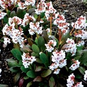 Bergenia 'Dragonfly Angel Kiss' (Large Plant) - 1 x 2 litre potted bergenia plant