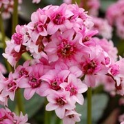 Bergenia 'Pink Dragonfly' (Large Plant) - 1 x 2 litre potted bergenia plant