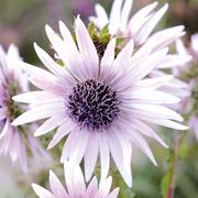 Berkheya purpurea - 10 x berkheya Postiplugs plants