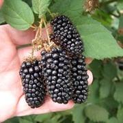 Blackberry 'Karaka Black' - 1 x 9cm pot-grown blackberry bush