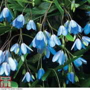 Bluebell Creeper - 1 x 7cm potted bluebell creeper plant