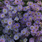 Brachyscome iberidifolia 'Little Missy' - 1 packet (200 brachyscome seeds)