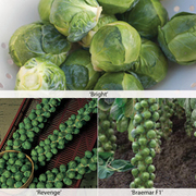 Brussels Sprout Full Season Collection - 24 brussels sprout plug plants - 8 of each variety