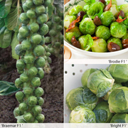 Brussels Sprout 'All Season Collection' - 1 packet (30 brussels sprout seeds)