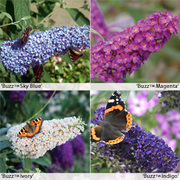 Buddleja 'Buzz® Collection - 4 buddleja jumbo plug plants - 1 of each variety