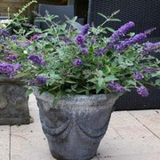 Buddleja Free Petite 'Blue Heaven' (Large Plant) - 1 x 1 litre potted buddleja plant