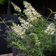Buddleja Free Petite 'Snow White' (Large Plant) - 1 x 1 litre potted buddleja plant