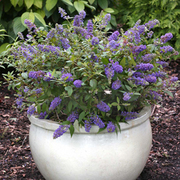 Buddleja 'Blue Chip' (Large Plant) - 2 x 3.5 litre potted buddleja plants