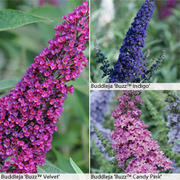 Buddleja 'Buzz'® Collection - 3 buddleja jumbo plug plants - 1 of each variety