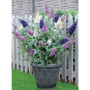 Buddleja 'Buzz® 3 in 1' - 1 x 9cm potted buddleja plant
