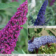 Buddleja 'Buzz®' Collection - 3 buddleja jumbo plug plants - 1 of each variety
