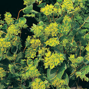 Bupleurum rotundifolium 'Green Gold' - 1 packet (100 bupleurum rotundifolium seeds)