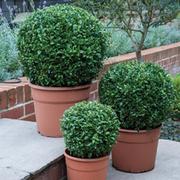 Buxus sempervirens (Large Plant) - 1 x 4 litre potted buxus plant