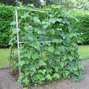 Norfolk Greenhouses Runner Bean Stand - 1 x Runner Bean Stand