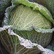 Cabbage 'Supervoy' F1 Hybrid (Winter Savoy) - SowStrong® Collection - 1 packet (50 cabbage seeds)