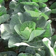 Cabbage 'Jewel' (Winter) - 1 packet (40 cabbage seeds)