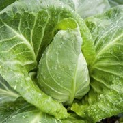 Cabbage 'Advantage' F1 Hybrid (Spring) - 1 packet (50 seeds)
