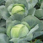 Cabbage 'Attraction' (Autumn) - 1 packet (50 cabbage seeds)