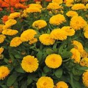 Calendula officinalis nana 'Candyman Yellow' - 1 packet (100 calendula seeds)