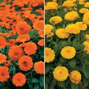 Calendula (Duo) - 2 packets - 1 of each variety (200 calendula seeds in total)
