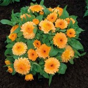 Calendula officinalis nana 'Apricot Twist' - 1 packet (100 calendula seeds)