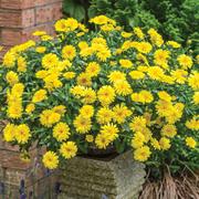 Calendula 'Power Daisy' - 10 calendula Postiplug plants