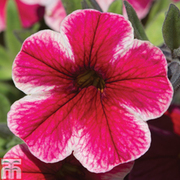 Minitunia 'Crave Strawberry Star'' - 12 petunia plug plants