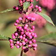 Callicarpa bodinieri var. giraldii 'Profusion' (Large Plant) - 1 x 3.5 litre potted callicarpa plant