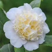 Camellia 'Winter's Snowman' - Christmas Gift - 1 x Camellia 'Winter's Snowman'