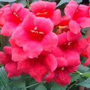 Campsis radicans 'Stromboli' (Large Plant) - 1 x 7 litre potted campsis plant
