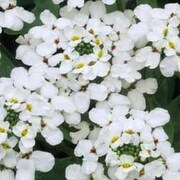 Candytuft 'Hyacinth Flowered' - 1 packet (300 seeds)