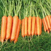 Carrot 'Sweet Candle' F1 Hybrid - RHS endorsed vegetable seeds - 1 packet (250 carrot seeds)