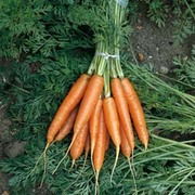 Carrot 'Nantes 2' - 1 packet (1500 carrot seeds)