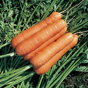 Carrot 'Resistafly' F1 Hybrid - 1 packet (350 carrot seeds)