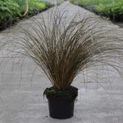 Carex 'Milk Chocolate' (Large Plant) - 1 x 3.6 litre potted carex plant