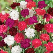 Dianthus 'Ever-blooming Mixed' (Hardy) - 72 dianthus plug plants