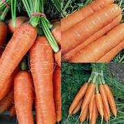 Carrot Fly Free Collection - 3 packets - 1 of each variety (2250 carrot seeds in total)