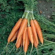 Carrot 'Nantes 2' (Seed Tape) - 1 x 5m seed tape (500 seeds)