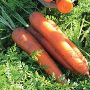 Carrot 'Kelly' F1 Hybrid - 1 packet (400 carrot seeds)