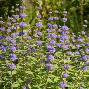 Caryopteris x clandonensis 'Kew Blue' (Large Plant) - 1 x 3.5 litre potted caryopteris plant