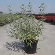 Caryopteris x clandonensis 'Ferndown' (Large Plant) - 1 x 3.5 litre potted plant