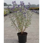 Caryopteris x clandonensis 'Thetis' (Large Plant) - 2 x 3.5 litre potted plants