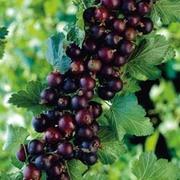 Casseille - 1 currant bush